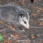 800px-Young_Possum