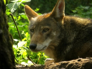 Photo of a red wolf, which is bordering on extinction in the wild